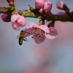 Kvetoucí broskvoň