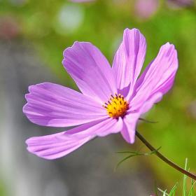 Krásenka (Cosmos bipinnatus)