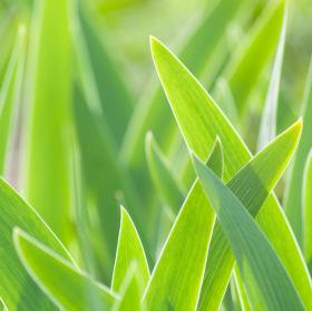 Listy tulipánů