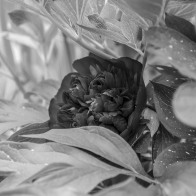 Small red rose in black.