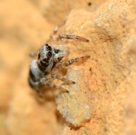 pavoučíček