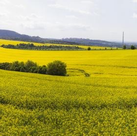 Všude žlutá