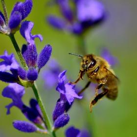 Včelí přistání na levanduli