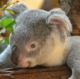 Koala medvídkovitý