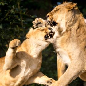 Lví hádka