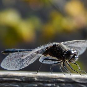 šídlo rašelinné