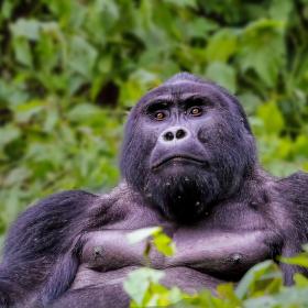 Dian Fossey zavražděna 26.12.1985 ve Rwandě