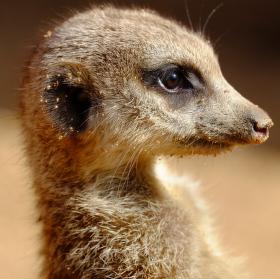 Brněnská surikata