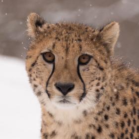 Gepard na snehu