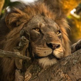 Stromový lev - portrét