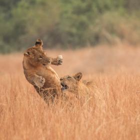 Lví hrátky