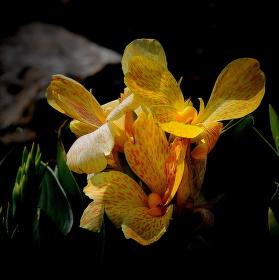 Kvetoucí Kana