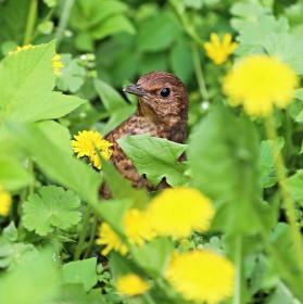 Mladý kosík v trávě