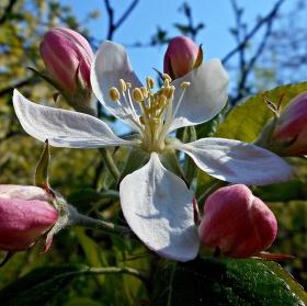 Jablůňka 5+5