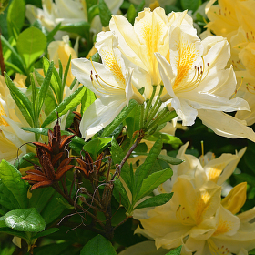 Rhododendron Sandra Marie