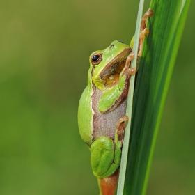 Rosnička zelená aneb dokonalý horolezec...