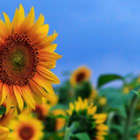 v poli slunečnic