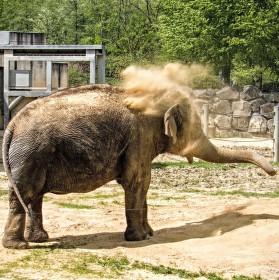 Slon chladící se pískem..