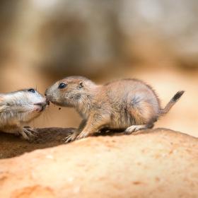 Bratrská láska | Psoun prériový