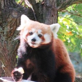 svačinka pandy červené