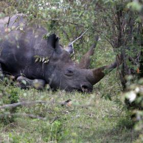 Nosorožec v Keni