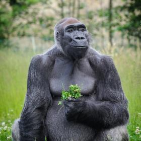 Gorila v trávě