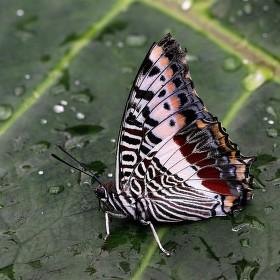 Motýl a rosa