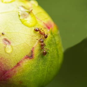 Mravenčí svačina.