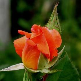 Ostrý hrot růže