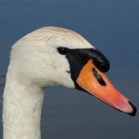 Labutí rybník