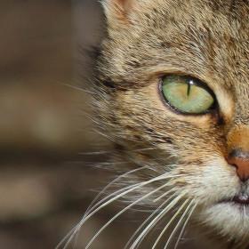 Kočičí jednooký veterán