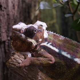 Pan Chameleon