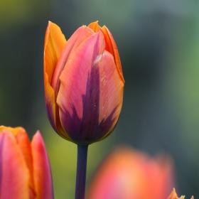první tulipány