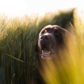 Labradort