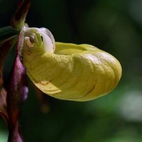 Kvet Črievičníka