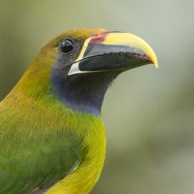 Arassari smaragdový (Aulacorhynchus prasinus) Emerald Toucanet