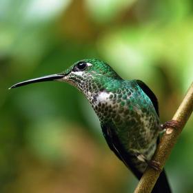 kolibřík II