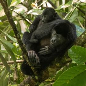 Vřešťan pláštíkový (Alouatta palliata) Mantled Howler Monkey