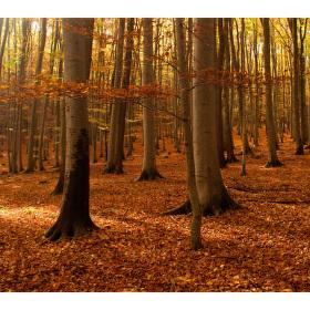 V bukovém lese....