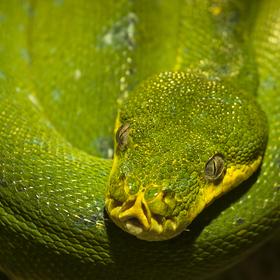 Krajta zelená