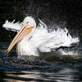 Neohrabané přistání pelikána