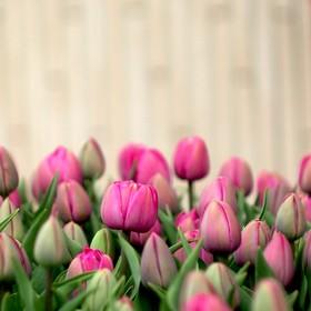Tulips everywhere!