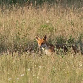 Moje první liška WL :-)