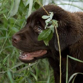 štěně labradora