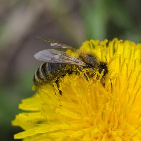 včela v práci