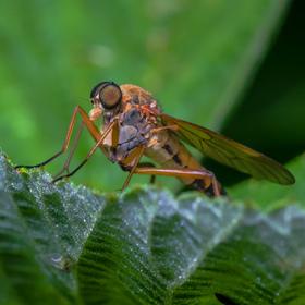 Promachus leoninus