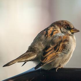 vrabčák ve větru