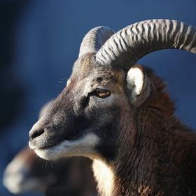 Mladý muflon
