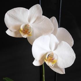Orchidea bílá