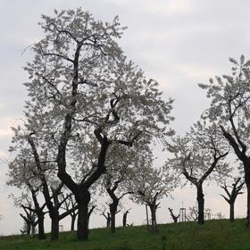 Kvetoucí stará Třešňovka